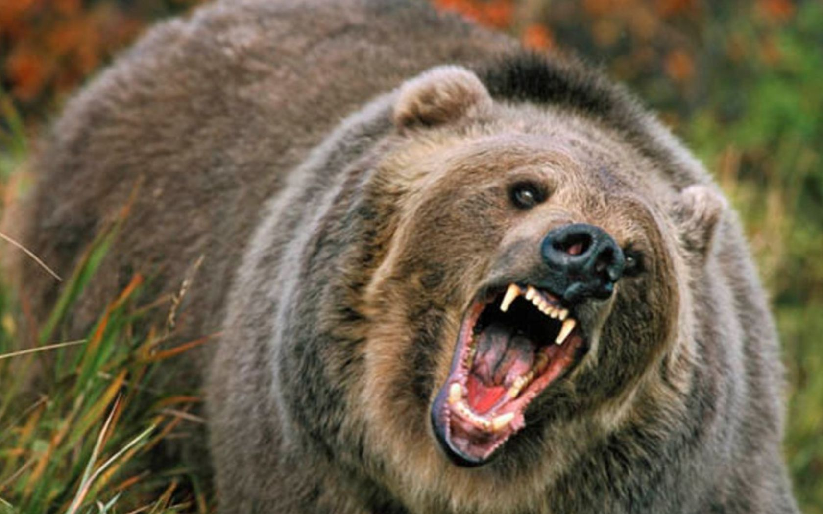 Angry grizzly bear side